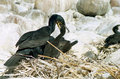 Cormorant feeding Stock Photos
