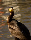 Cormorant Looking Around