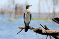 Cormorant microcarbo melanoleucos perched on a branch Royalty Free Stock Images
