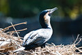 Cormorant in a nest by the side of a lagoon Royalty Free Stock Photo