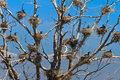 Cormorant nests in a tree Stock Photos