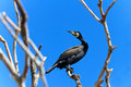 Cormorant (phalacrocorax carbo ) Stock Photos