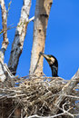 Cormorant (phalacrocorax carbo ) on nest Royalty Free Stock Images