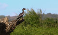 Cormorant sitting on a tree trunk in the sunlight Stock Image