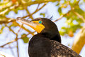 Cormorant surveys surrounding area its green eyes Royalty Free Stock Photography