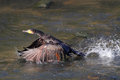 Cormorant takeoff detailed river douro porto portugal Royalty Free Stock Photography