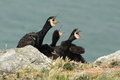 Cormorant view of a nest and chicks on a rock against a blurred background Stock Images