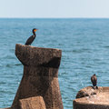 Cormorants family on rocks offshore two white breasted male and female resting Royalty Free Stock Image