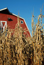 Corn and Barn Royalty Free Stock Photography