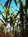 Corn from below Royalty Free Stock Photo