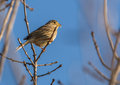 Corn bunting on branch with sprouts a emberiza calandra perches a already showing some in late december Stock Photo