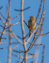 Corn bunting on branch with sprouts a emberiza calandra perches a already showing some in late december Royalty Free Stock Photo