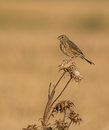 Corn Bunting on Thistle plant Royalty Free Stock Photo
