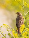 Corn Bunting in Yellow and Green Royalty Free Stock Photo