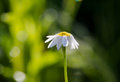 Corn chamomile, mayweed, scentless chamomile, or field chamomile Royalty Free Stock Photo