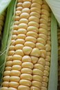 Corn close up Stock Image
