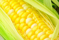 Corn cob close up Stock Images