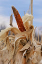 Corn Cob on Dried Stalk Royalty Free Stock Photo