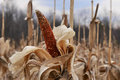 Corn cob on dried stalk colorful dry brown in winter Royalty Free Stock Photo