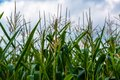 Corn cob on a field in summer see my other works portfolio Royalty Free Stock Photo