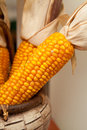 Corn cob fresh grew up on a non gmo field presented in a wooden basket nobody macro perspective agriculture non modified food Royalty Free Stock Image