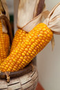 Corn cob fresh grew up on a non gmo field presented in a wooden basket nobody macro perspective agriculture non modified food Stock Image