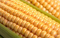 Corn cob between green leaves Royalty Free Stock Photo