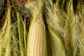 Corn on the cob horizontal an ear of fresh picked it is partiall shucked and surrounded by more silk and husk in format Stock Image