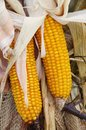 Corn cob vegetable in fall Stock Image