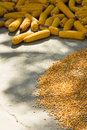Corn cobs and maize drying in sun Stock Photography