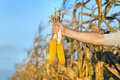 Corn cobs in male hand Royalty Free Stock Photo