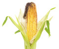 Corn cobs. Royalty Free Stock Photo