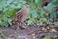 Corn crake the strolling on the soil Stock Photos
