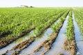 Corn crop Royalty Free Stock Photo