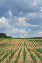 Corn crop cloudy sky over crops in italy Stock Photography