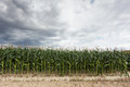Corn crop with dramatic sky Stock Images