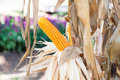 Corn crops on dried corn trees is prompt to harvest Royalty Free Stock Photo