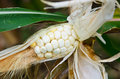 Corn are diseases destroyed drought of and insect Stock Photos
