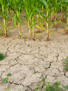 Corn and drought 3 Stock Photo