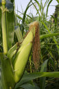 Corn ear on plant Royalty Free Stock Photo
