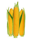 Corn ears Stock Photography