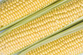 Corn ears close up of three raw Royalty Free Stock Photography
