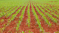 Corn farm baby grown on red soil Royalty Free Stock Photography