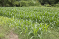 Corn farm rows of young plants in the field Royalty Free Stock Photography
