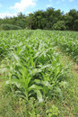 Corn farm rows of young plants in the field Royalty Free Stock Photos