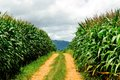 Corn farm in thai is two the sideways with mountain landscape thailand Stock Photography