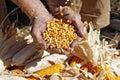 Kukurica v poľnohospodári ruky