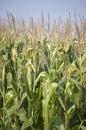 Corn Feild Stock Photo