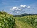 Corn fied sweet field farm against blue cloudy sky Royalty Free Stock Photos