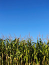 Corn field Stock Image